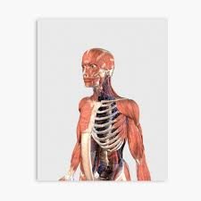These muscles extend from the torso to the bones of the shoulder. Human Upper Body Showing Muscle Parts Axial Skeleton And Veins Photographic Print By Stocktrekimages Redbubble