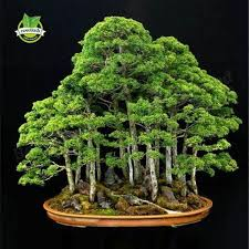 office bonsai tree. Godofgifts-com A 20 Juniper Bonsai Tree Seeds Potted Flowers Office Purify The Air E