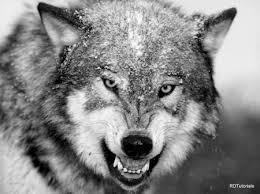 black and white wolf wallpaper. Black And White Wolf On Wallpaper