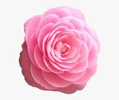 beautiful rose flowers hd hd png