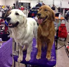 american vs english golden retrievers.  American Two Champion Golden Retrievers Showing Both Ends Of The Colour Spectrum In American Vs English Retrievers E