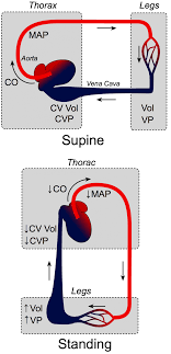Cv Physiology Effects Of Gravity On Venous Return
