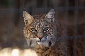 lynx size look at the size of this canadian lynx filmed in waldo maine