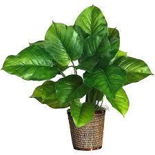 philodendron plant pictures large leaf inch house plants flat philodendro large leaf indoor plant