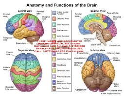 17 best ideas about brain diagram human brain in this diagram it shows the different parts of the brain as well as the