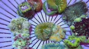 maxi mini carpet anemone stictyla tapetum