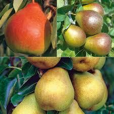 Choosing Dwarf Or SemiDwarf Fruit TreesFull Size Fruit Trees For Sale