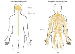 Comparative Functions Of Nervous And Endocrine Systems Chart The Nervous System And Endocrine System Introduction To