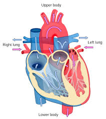 Heart Diagram With Blood Flow Best Wiring Library