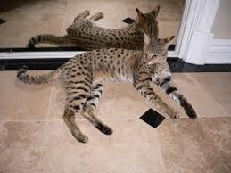an f1 savannah cat
