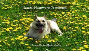 natural heartworm treatment. Natural Heartworm Treatment