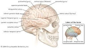 brain anatomy com lateral view of the right cerebral hemisphere of the human brain shown in situ in