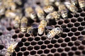 Protecting Pollinators Biology And Control Of Varroa Mites