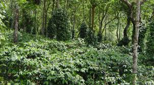 shade grown coffee plantation. Unique Grown Sustainable Coffee Shadegrown Coffee Is Intercropped With Pepper At Our  Organic Estate Nelliyampathy Inside Shade Grown Coffee Plantation