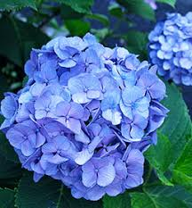 Quick Check Chart For Pruning Hydrangea Shrubs