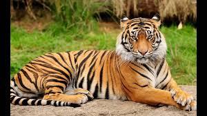 Image result for bengal tiger
