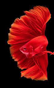 View Betta Fish 3D Mod Apk PNG ...