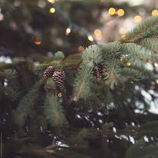 Close Up Of A Pine Tree With Christmas Lights And Pine Cones