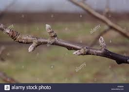 When And Why To Prune Fruit Trees In Central NJPA  Organic Plant Dormant Fruit Trees