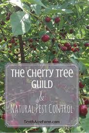 Honeycrisp Apple  Apple Trees  Stark Brou0027sWhen Do Cherry Trees Bear Fruit