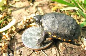 Painted Turtle Growth Chart Futurenuns Info