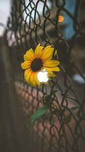 Iphone Wallpaper Aesthetic Sunflower ...