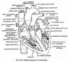 essay on human heart location and structure diagram  internal structure of human heart