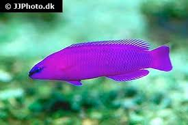 Dottyback Compatibility Chart Orchid Dottyback Care Size Life Span Tank Mates Breeding