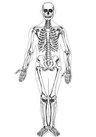 Small Picture Photo Human Skeleton in Human Anatomy Coloring Pages Photo Human