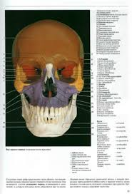 baken реферат кости черепа и их строения реферат кости черепа и их строения