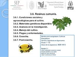 Cultivo de la higuerilla ( Resinus Cumunis)