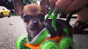 puppy born without front legs gets printed wheelchair dog for wheel chair diy