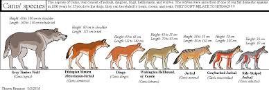 Wolf Species Size Chart 66 Comprehensive Hyena Size Chart