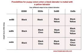 Labrador Color Chart Genetics Of Labrador Coat Color Maple Leaf Vet Care Center