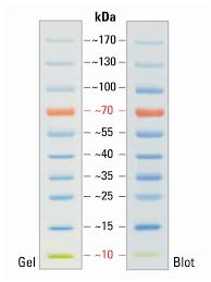 Thermo Scientific Pageruler Prestained 10 180kda Protein Ladder