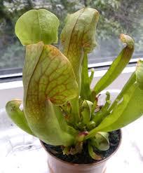 Carnivorous Plants Low Light Carnivorous_plants