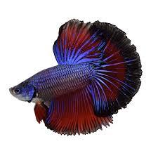 petco betta fish. Unique Petco To Petco Betta Fish