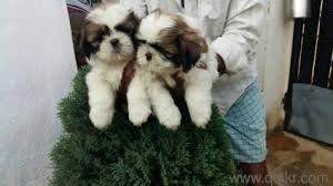 best quality shihtzu puppies in begumpet hyderabad pets on hyderabad quikr clifieds