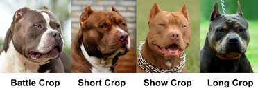 Pitbull Ear Crop Chart Ear Cropping Essential Tips For Puppy Owners