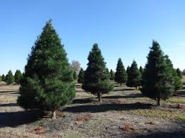 Do You Have Your Very Own What Kind Of Christmas Trees Are There