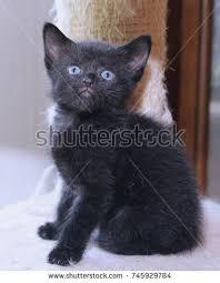 fluffy black kittens with blue eyes. Plain Fluffy FLUFFY BLACK KITTEN WITH BLUE EYES Throughout Fluffy Black Kittens With Blue Eyes E