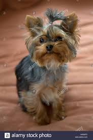 yorkshire terrier mini toy female sits on sofa
