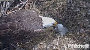 pritchett eagle cam.  Eagle Dickpritchettrealestatecomeaglefeedhtml Throughout Pritchett Eagle Cam