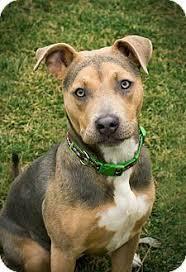 bull terrier german shepherd mix.  Shepherd Seattle WA  Pit Bull TerrierGerman Shepherd Dog Mix Meet Gemma A With Terrier German Mix L