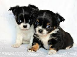 mini toy chihuahua puppies