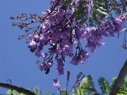 growing jacaranda trees how to plant