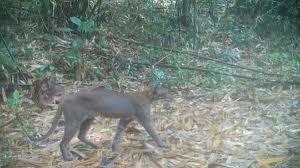 ชาวบ้านฮือฮา พบเสือไฟ สัตว์ป่าหายาก ในเขตรักษาพันธุ์สัตว์ป่า