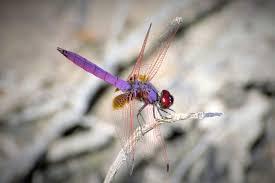 dragonfly full day angkor site cambodia bird guide ociation