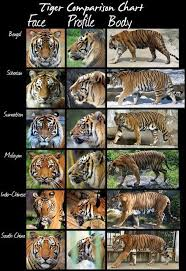 Tiger Comparison Chart Know Your Animals Animals Types