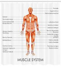 In the diagrams below, i'll be showing muscle groups in color, with a black line to show the forms that would show through the skin (i also show protruding bones stand in front of a mirror and find each of the muscles shown here in your own body. Anatomy Of Muscle System Anatomy Drawing Diagram